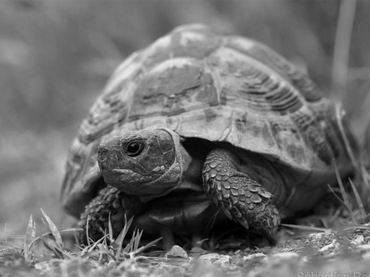 litle turtle